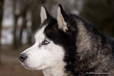 Blue eyed husky