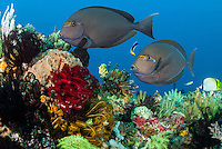 A pair of Surgeonfish pause at a cleaning station to have dead skin and parasites removed by wrasses<br /> <br /> Shot in Indonesia