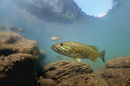 Smallmouth Bass<br /> <br /> Isaac Szabo/Engbretson Underwater Photography