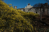 An amazing sight - Forsythia in full bloom on December 28 along the Reservoir in Central Park.