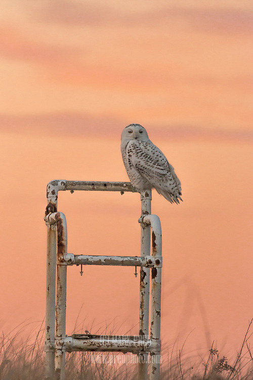 A snowy owl rests on an old lifeguard chair at west Dennis Beach