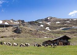 THEMENBILD - die Grossglockner Hochalpenstrasse. Die hochalpine Gebirgsstrasse verbindet die beiden oesterreichischen Bundeslaender Salzburg und Kaernten mit einer Laenge von 48 Kilometer. Sie ist als Erlebnisstrasse vorrangig von touristischer Bedeutung und das Befahren ist fuer Kraftfahrzeuge mautpflichtig, im Bild eine weidende Schafherde im Hochgebirge mit einer Alm, aufgenommen am 24.05.2014 // ILLUSTRATION - the Grossglockner High Alpine Road. The high alpine mountain road connects the two Austrian federal states of Salzburg and Carinthia with a length of 48 kilometers. It is as a matter of priority road experience of tourist importance and for driving motor vehicles is a toll road. Picture taken on 2014/05/24. EXPA Pictures © 2014, PhotoCredit: EXPA/ JFK