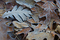 Frost coats the different types of leaves on the shoreline of Walden Pond.
