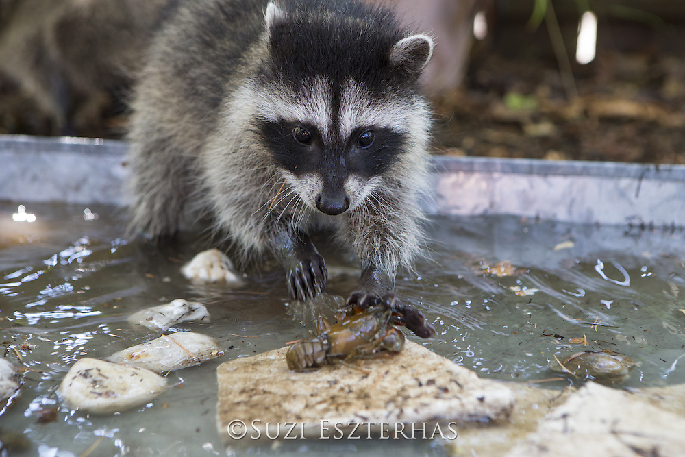 Raccoon <br /> Procyon lotor<br /> Three-month-old orphaned baby fishing for shellfish in backyard of foster home <br /> WildCare, San Rafael, CA