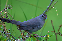 Grey Catbird. Early Summer Nature in New Jersey. Image taken with a Nikon D300 and 600 mm f/4 lens (ISO 200, 600 mm, f/4, 1/200 sec). Raw image processed with Capture One Pro 6, Focus Magic, Nik Define 2, and Photoshop CS5.