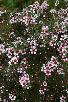 Leptospermum scoparium martinii flower