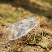 Borysthenes maculatus, Derbidae planthopper. Kaeng Krachan National Park, Thailand.
