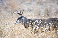 Whitetail buck in autumn habitat