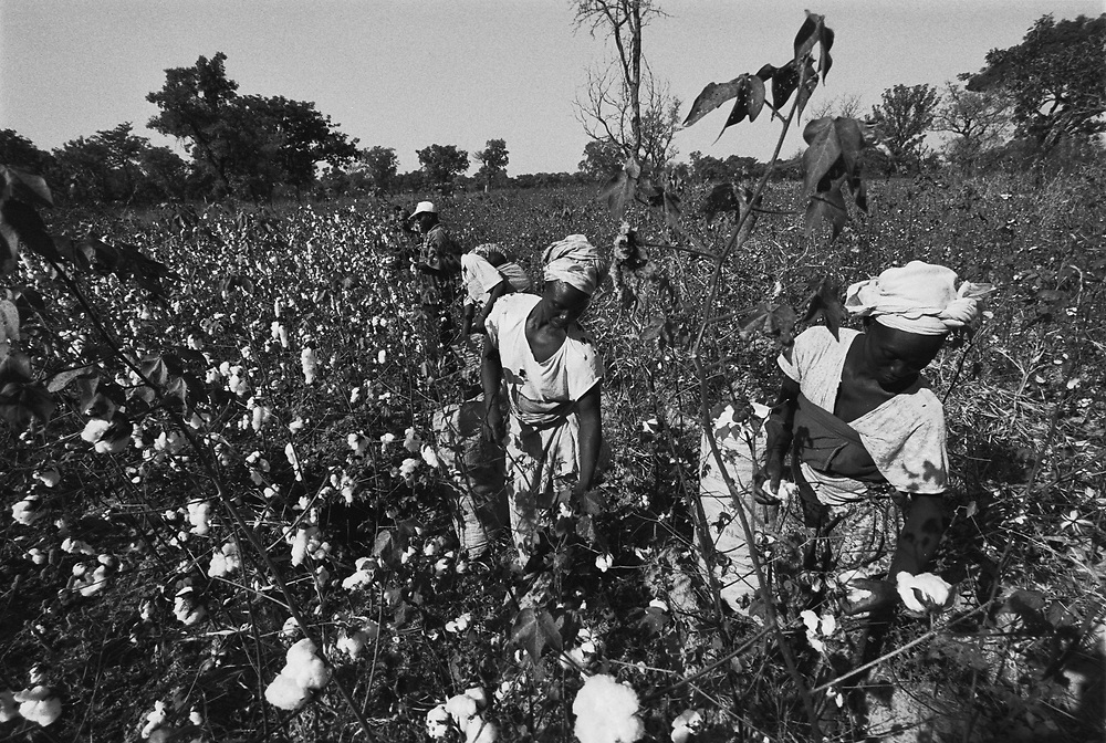 Cotton farmers harvest their cotton by hand. Burkina Faso produces some of the world's highest quality, low cost cotton. Nevertheless they are reaping only poverty due to huge US and European cotton subsidies to their own cotton producers..Karankasso Sambla, Burkina Faso. 12 December 2003..Photo © J.B. Russell