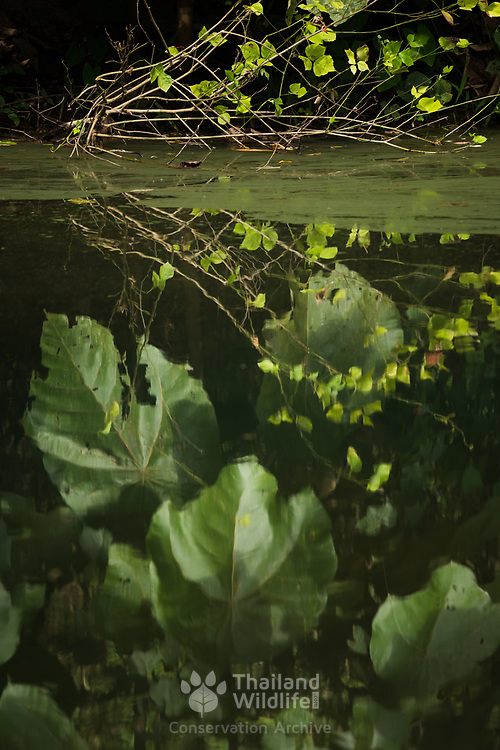Leaf reflections in a pond in Kaeng Krachan national park, Thailand