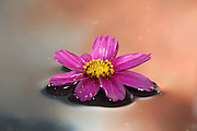 A cosmo flower is reflected in water against an evening sky.