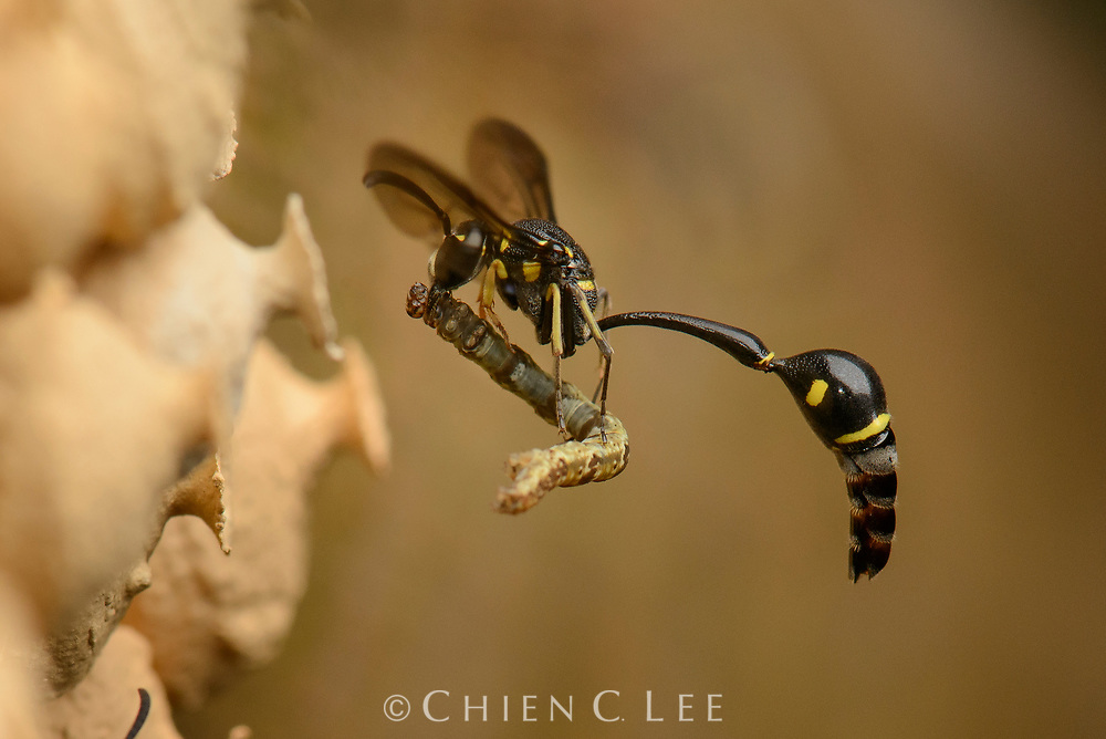 A potter wasp (Eumenes sp.) returns to her nest with a paralyzed caterpillar. Each perfectly crafted urn will be filled with a dozen or so caterpillars before she deposits a single egg and seals the entrance. The developing wasp larvae will feed on the caterpillars before pupating and emerging as an adult. Photographed in Batang Ai, Sarawak.