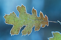 Frosty oak leaf close-up