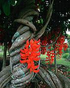 Red Jade Vine, Mucana Novi-Guineensis, Island of Hawaii, Hawaii, USA<br />
