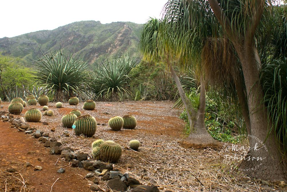 Golden Barrel Cactus (Echinocactus grusoni), Koko Crater Botanical Garden, Honolulu, Oahu, Hawaii