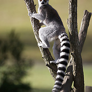 A Ringtailed Lemur at the Orana Wildlife Park, Christchuch, New Zealand. Lemurs have no real predators other than man, but are considered endangered because of loss of habitat through forest clearing. Set on 80 hectares, Orana Wildlife Park is New Zealand's only open range zoo. .Over 400 animals from 70 different species are displayed. Mcleans Island Road, Christchurch, New Zealand. 9th June 2011. Photo Tim Clayton.