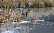 UK, Doncaster - Wednesday, February 11, 2009: A Great Bittern (Botaurus stellaris) gets ready to fly across a frozen pool at Potteric Carr nature reserve. (Image by Peter Horrell / http://www.peterhorrell.com)