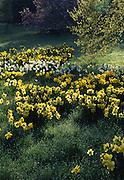 Daffodil, nacissus, Morris Arboretum of the University of Pennsylvania, Philadelphia gardens and arboretums, Chestnut Hill, Philadelphia, PA
