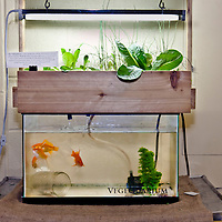 Vegequarium, a mini aquaponics system which grows fish and plants together, designed by Justin Nadeau of FoodShare Toronto With the help of bactieria, fish waste is transformed into a great source of nutrients for the plants and the plants in return act as great water filters.