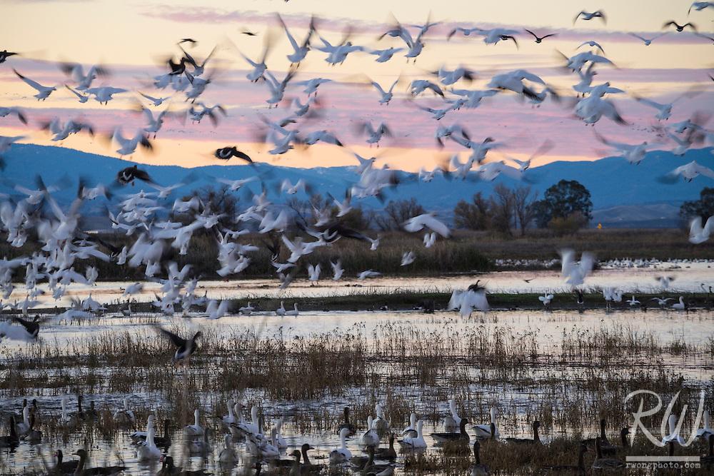 Geese Flying at Dusk, Sacramento National Wildlife Refuge, California