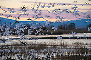 Geese Flying at Dusk, Sacramento National Wildlife Refuge, California