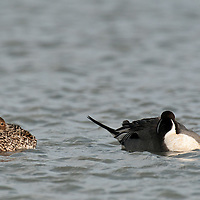 hen northern pintail with eye open, male pintail sleeping, head's tucked into wings