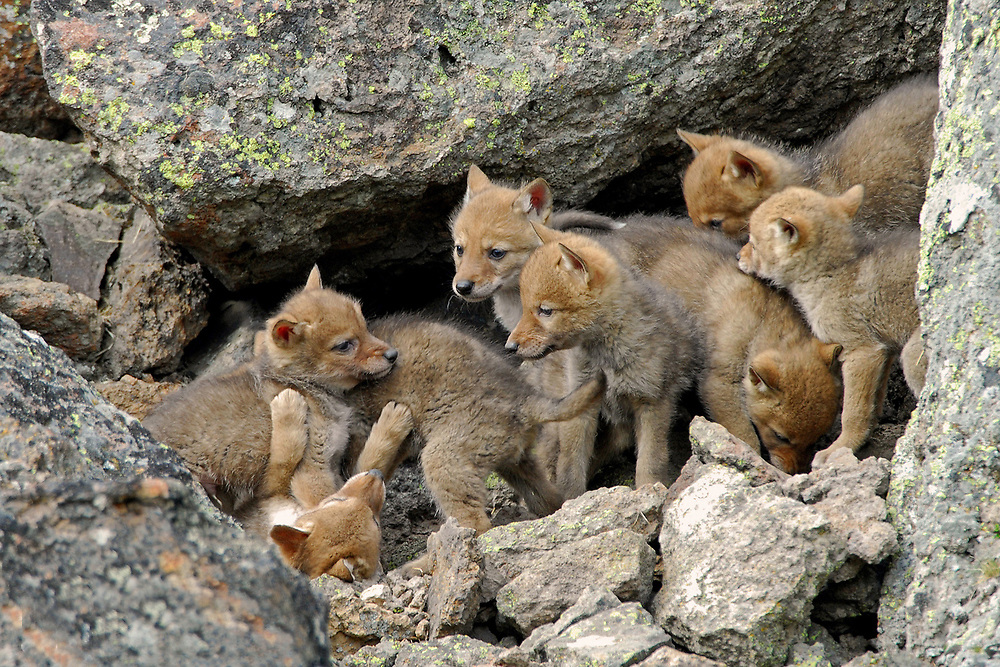 Although only eight pups are visible, this litter of nine coyote pups were often seen playing outside the confines of their den. During the time this photo was taken, these pups were about six weeks old.