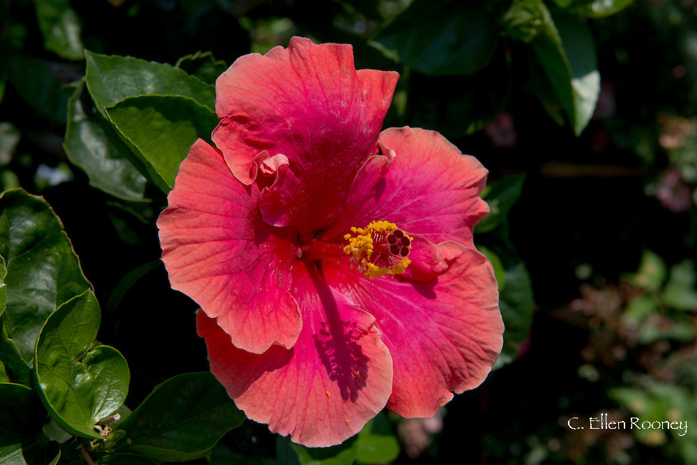 A red and orange hibiscus flower on the island of Salina, The Aeolian Islands, Messina Sicily, Italy