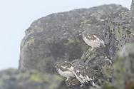 Three rock ptarmigans (Lagopus muta) on a foogy afternoon, Niederhorn, Interlaken, Berne, Switzerland