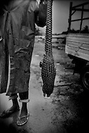 Local hunter, who wished not to show his face, holds a long-tailed pangolin shot in the neighboring rainforest.  This form of bush meat is a traditional form of protein.  While there was no evidence of hunting of primates like chimpanzees or lowland gorillas (both of which are know to inhabit protected areas), the more forest that is logged, the more vulnerable wild game will be to overhunting.  Manyeman, Cameroon.