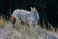Coyote checking his back-trail
