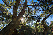 Sunstar through oak trees, Santa Cruz Island, Channel Islands National Park, California USA