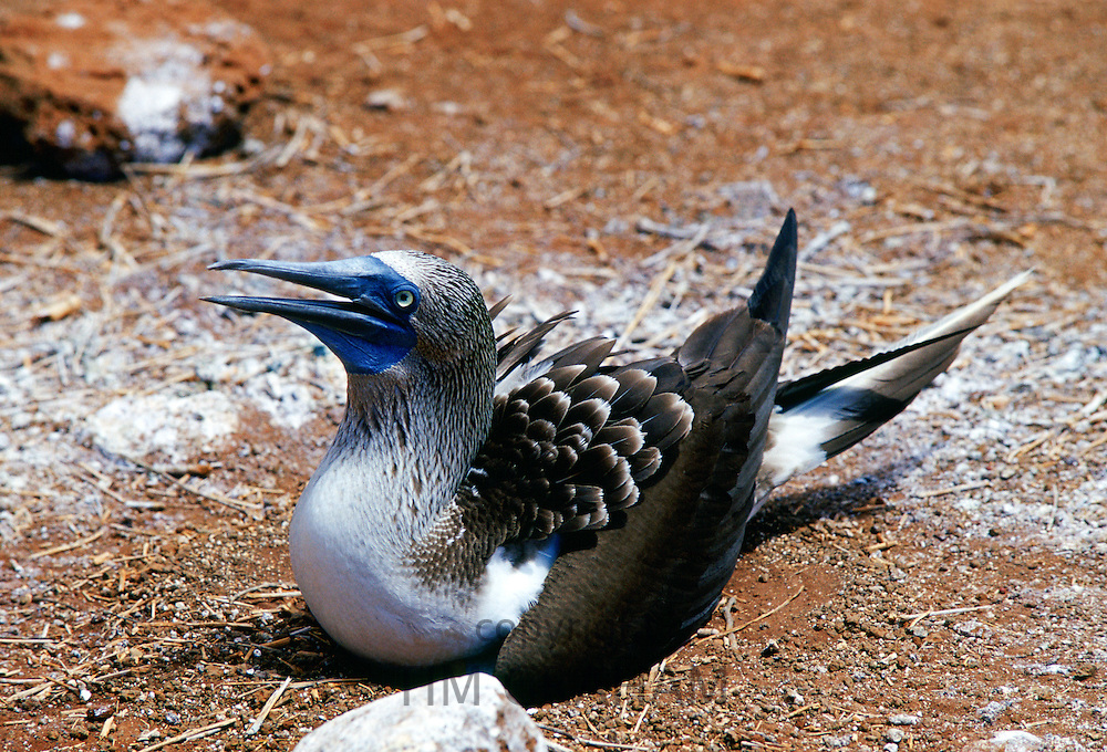 Blue-footed Booby bird protecting her eggs on Galapagos Islands, Ecuador