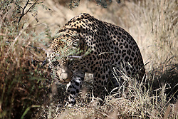 NAMIBIA WINDHOEK 4MAY14 - A large male leopard prowls though a large enclosure at the Duesternbrook guest farm near Windhoek, Namibia.<br /> <br /> Düsternbrook is the first and oldest guest farm in Namibia, located just north of Windhoek and offers Cheetah and Leopard game drives.<br /> <br /> <br /> <br /> jre/Photo by Jiri Rezac<br /> <br /> <br /> <br /> © Jiri Rezac 2014