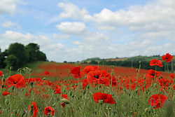 © Licensed to London News Pictures. 30/06/2013. Horton Kirby, United Kingdom. A stunning red poppy field in Kent on a gloriously sunny day credit : Rob Powell/LNP