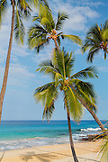 Coconut Palm Trees on the Beach on the Big Island of Hawaii