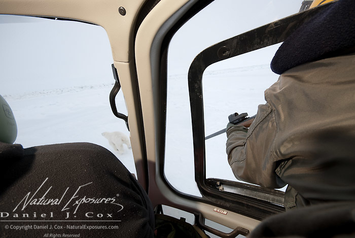 Kristin Simac takes steady aim to dart a polar bear from the capture helicopter. Beaufort Sea ice pack, Kaktovik, Alaska.