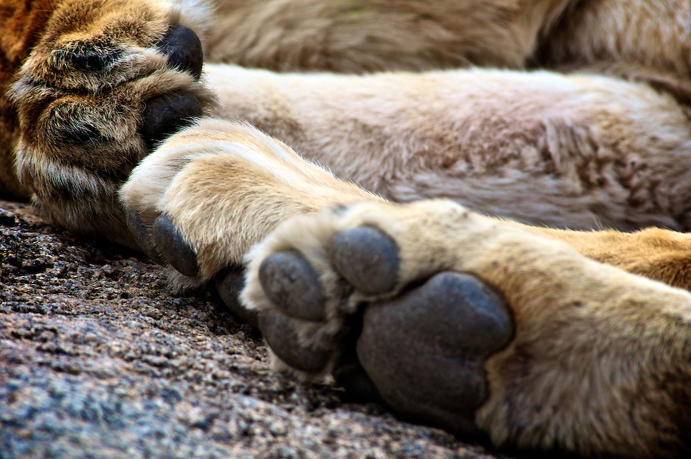 A napping lion pride shows its paws.