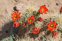 "One of the most striking and beautiful of all the ""barrel"" cacti of the American Southwestern deserts, the claret cup cactus (also known regionally by many names such as the kingcup, queencup, hedgehog cactus, pitaya roja, etc.) has large, showy and brilliantly red flowers that attract and are pollinated by hummingbirds. Unlike most cacti, the flowers of the claret cup stay open at night. Some native American tribes who shared the same habitat would collect these cacti, burn off the sharp spines, and mash them into a pulp with some locally procured sweetener (honey?) and bake them into mini sweet cakes. This one was found and photographed on a beautiful spring day in the Sevilleta National Wildlife Refuge in Central New Mexico."