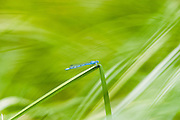 Boreal Bluet Dragonflies in the reeds around a pond in upper elevations near Panguitch Lake, Utah