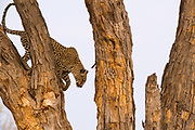 A leopard, Panthera pardus, descending from a tree, Khwai concession, Okavango delta, Botswana.