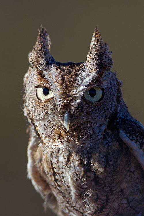 Stock Photo of captive eastern screech owl captured in Colorado.  This owl has the most diverse diet of all U.S owls. The diet can range from small mammals, songbirds and insects.