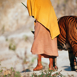 An orphaned wild tiger is escorted by a buddhist monk at a remote temple in Kanchanaburi, Thailand.