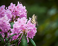 Tiger Swallowtail Butterfly feeding on Rhododendron flowers. Image taken with a Nikon Df camera and 70-300 mm lens (ISO 640, 300 mm, f/5.6, 1/1250 sec).