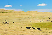 Cattle. Black angus<br /> Maple Creek<br /> Saskatchewan<br /> Canada
