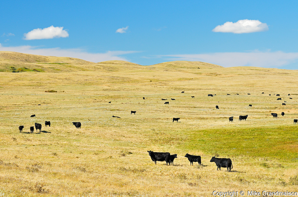 Cattle. Black angus<br /> Maple Creek<br /> Saskatchewan<br /> Canada