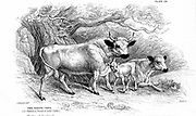 British Wild or Park cattle. Ancient breed surviving in a few small herds in Britain through having been enparked centuries ago. Those shown here are the Hamilton strain (Scottish). The Chillingham is another (English) strain. From William Jardine 'The Na