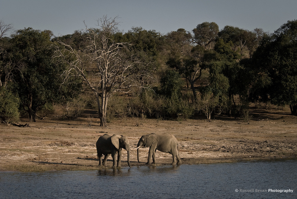 Two Kalahari Elephants drinking on a riverbank in Chobe National Park Botswana