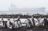 An Iron-ore tanker cruises past in the distance as endangered African Penguins rest on the coastline, Robben Island, Western Cape, South Africa