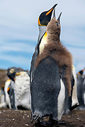 Adult and subadult king penguins (Aptenodytes patagonicus) from Volunteer Point, the Falklands.
